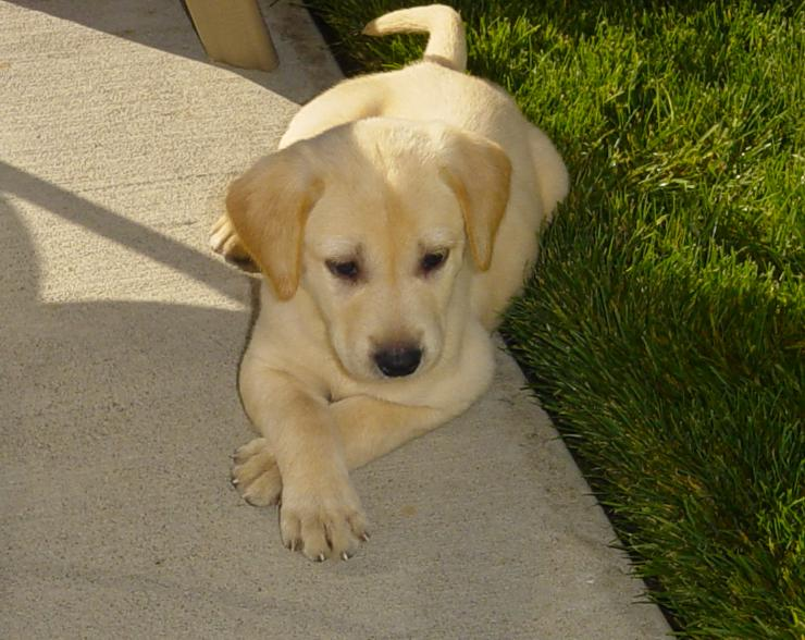 Yellow Lab Puppy Pictures